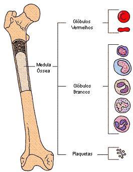 Medula ossea